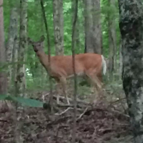 KY deer